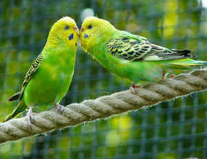Two Green And Yellow Budgerigar Birds Touching